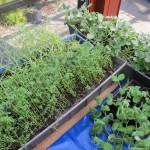 tuinbonen en erwten willennaar buiten, de lenzen moeten nog wat wachten