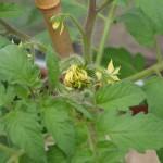 de tomaten beginnen te bloeien in de varanda