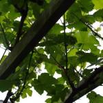 buiten bloeit de druif op de pergola