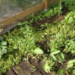 groene mulch tussen oca, aubergines, paksooi en sorgum