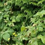 gele (herfst)frambozen