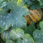 12 grote pompoenen van één plant, wow (natuurlijk al binnengehaald)
