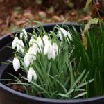 en eind februari volop in bloei
